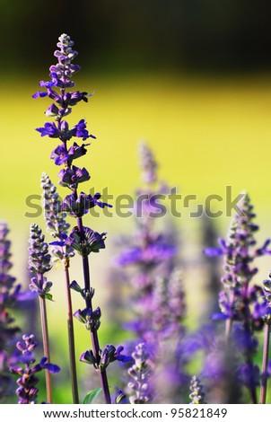 Purple lavender flowers in the field - stock photo