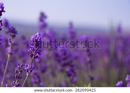 Purple lavender flowers in the field background - stock photo