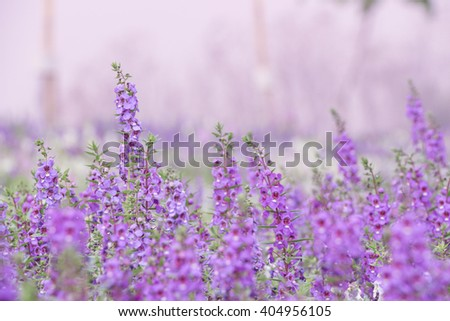 Purple lavender flowers in the field - Soft focus of Lavender flower field