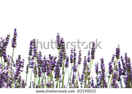 Purple lavender flowers, isolated on a white background - stock photo