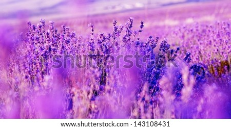 Purple lavender flowers - Sunset over a summer lavender field . Bunch of scented flowers in the lavander fields of the French Provence near Valensole