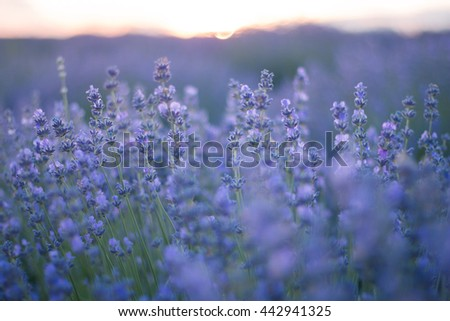 purple lavender flowers - Sunset over a summer lavender field . Bunch of scented flowers in the lavanda fields. soft focus