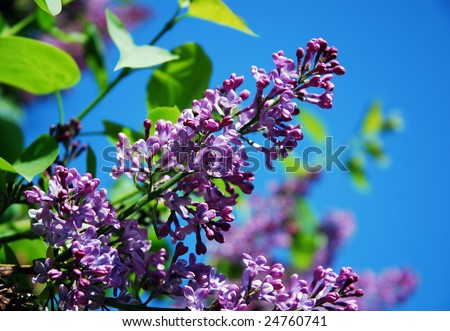 Purple lilac branch in spring on a blue sky background