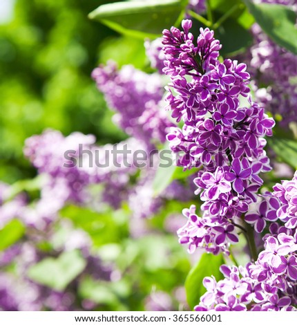 Purple lilac bush blooming - stock photo