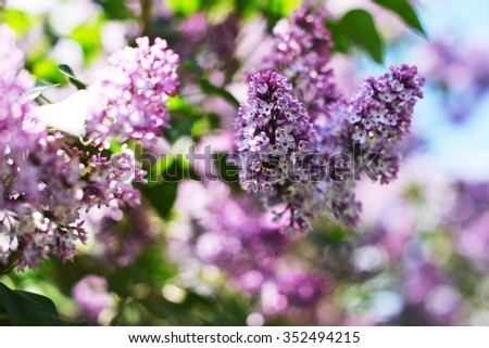 purple lilac bush blooming in May day. - stock photo