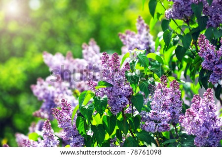 purple lilac bush blooming in  May day. City park - stock photo