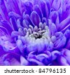 Purple Lilac Chrysanthemum macro colourful background - stock photo