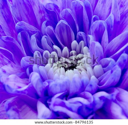 Purple Lilac Chrysanthemum macro colourful background