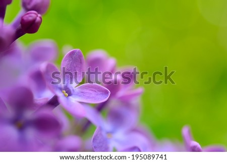 Purple Lilac Flowers on the Blurred Green Background. Spring Blossom Background