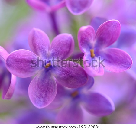 Purple Lilac Flowers on the Blurred Green Background. Spring Blossom Background - stock photo