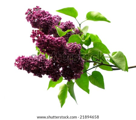 Purple lilacs and green leafs isolated - stock photo