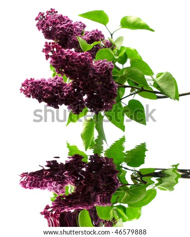 Purple lilacs and green leafs on white background with reflection in water - stock photo