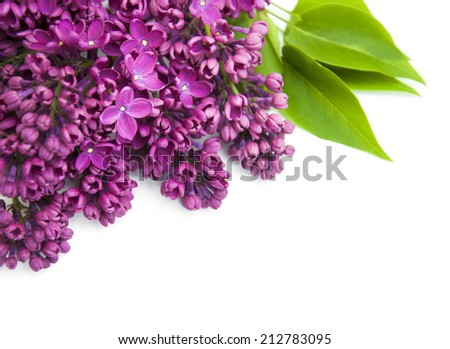 Purple Lilacs flowers on a white background