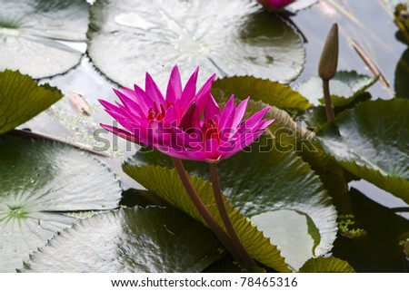 purple lillies on a lillypad, in a pond - stock photo