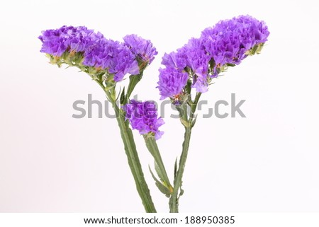 Purple Linonium on white background
