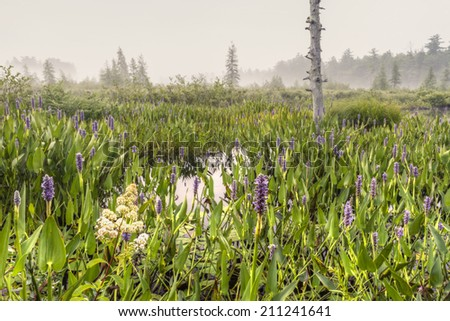 Purple loosestrife flowers at Brown's Tract Inlet off foggy Raquette Lake in the Adirondack Mountains of New York (HDR) - stock photo