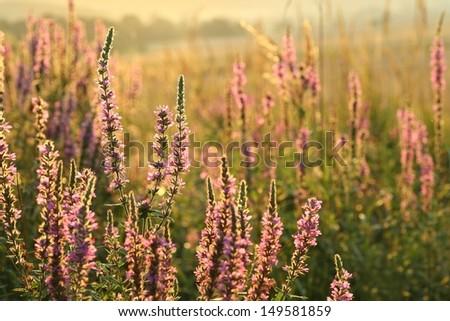 Purple loosestrife (Lythrum salicaria) in a meadow, Poland. - stock photo