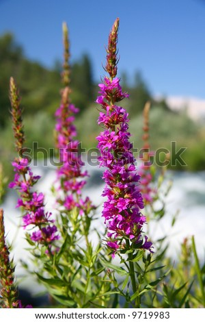 Purple Loosestrife Oregon Wildflowers growing along the Rogue River