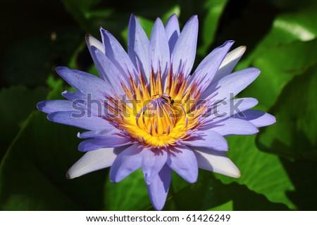 Purple lotus - stock photo