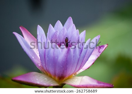 purple lotus and bee - stock photo
