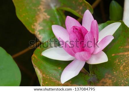 Purple lotus flower blooming at summer. - stock photo