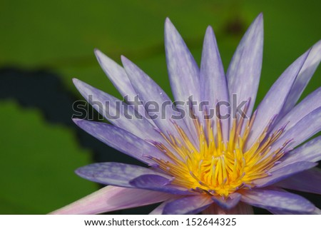 purple lotus flower blooming in garden - stock photo