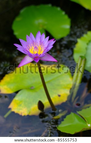 Purple lotus flower in the pool, Thailand - stock photo