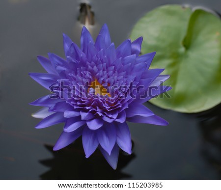 purple lotus flower on pond - stock photo