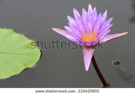 purple lotus flower on water - stock photo