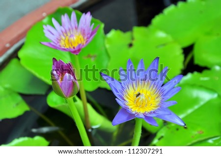 Purple lotus grows in the pond