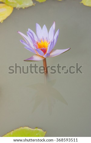 Purple lotus in a pond - stock photo