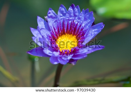 Purple lotus in the pond of thailand - stock photo