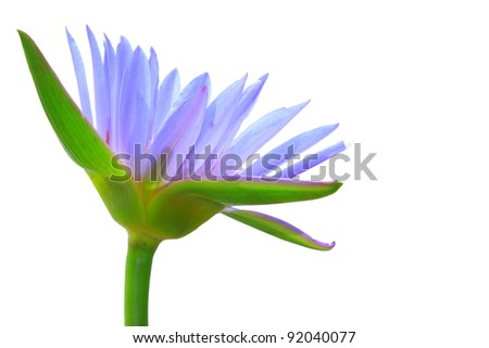 Purple lotus isolated