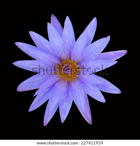 Purple Lotus isolated on black background