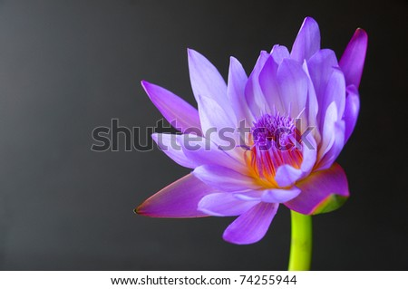 purple lotus on black background - stock photo