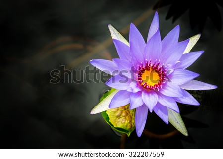 Purple Lotus on black water,blur picture style - stock photo
