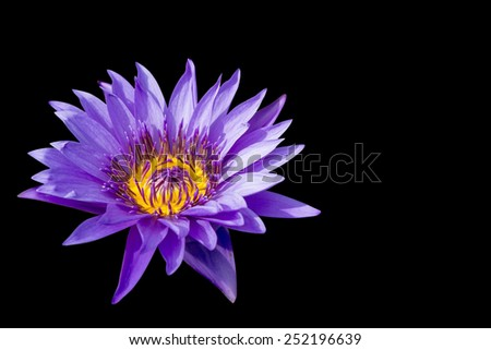 Purple Lotus on isolated black background. with Clipping Path