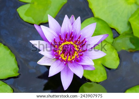 purple lotus on lotus garden - stock photo
