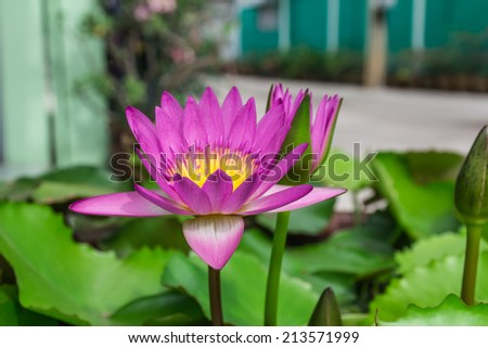 Purple lotus/Purple lotus blossoms on water - stock photo