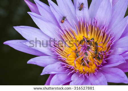 Purple lotus with bees swarming,selective focus. - stock photo