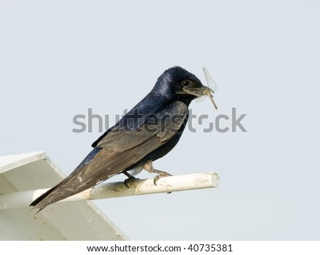 Purple Martin (Progne subis) With Dragonfly - stock photo