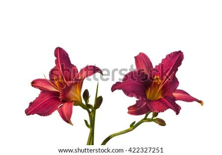 Purple miniature hemerocallis  (daylily) on a white background isolation - stock photo