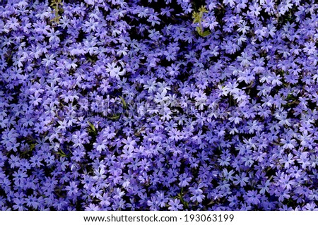 Purple moss phlox - stock photo