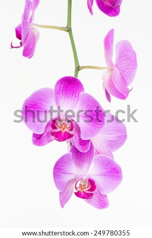 Purple Moth orchids close up over white background  - stock photo