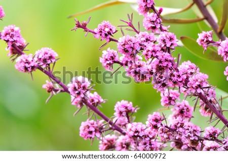 Purple native Australian flower closeup - stock photo