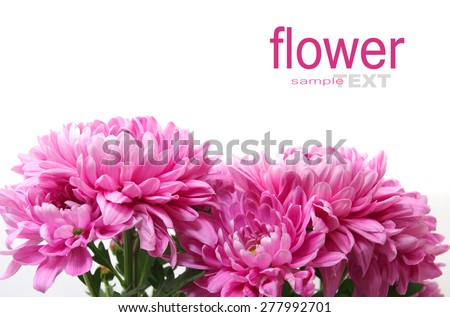 Purple or Pink Chrysanthemum flower on a white background - stock photo