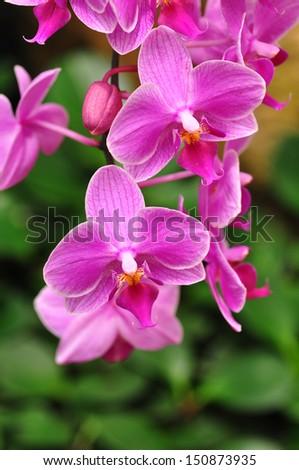 Purple orchid.  - stock photo