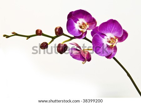 purple orchid - stock photo