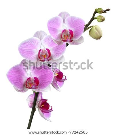 Purple orchid - stock photo