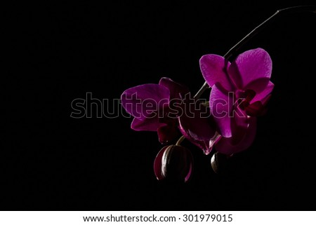 Purple orchid against a black background file 43 - stock photo
